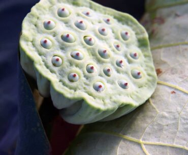 Lotus root has been a favourite food since ancient times