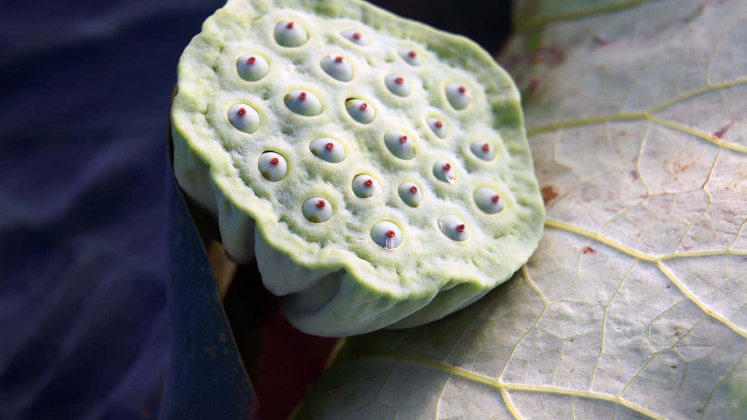 The health roles of lotus root exposed