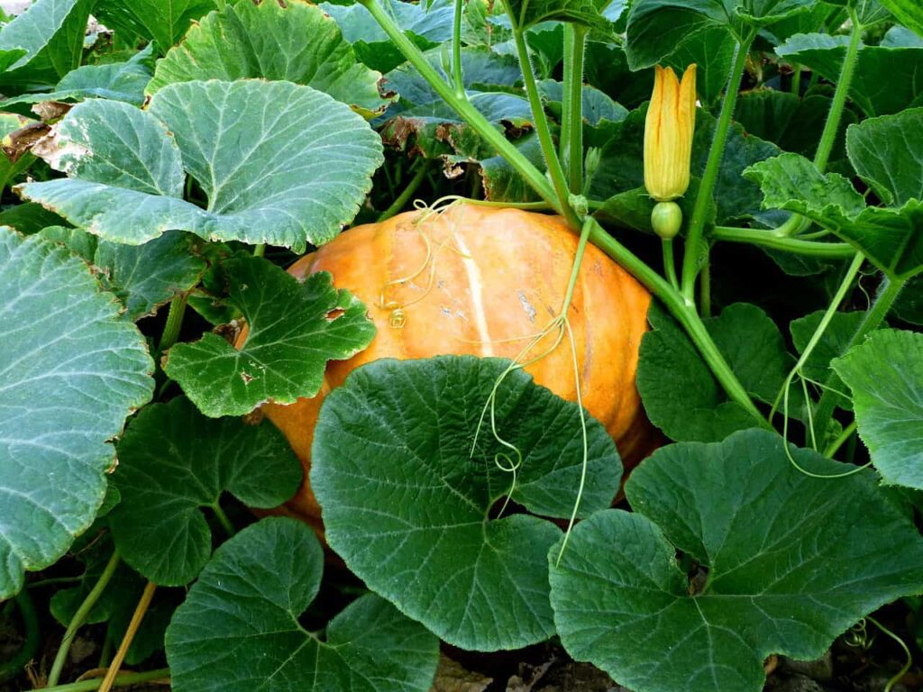 Pumpkin leaves boiled water to drink. It can play a role in relieving heat