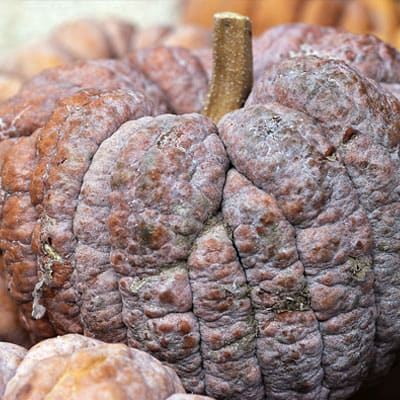 This type of pumpkin with the visible longitudinal edge is called the grinding plate pumpkin. It is divided into large grinding plate pumpkins and small grinding plate pumpkins according to size.