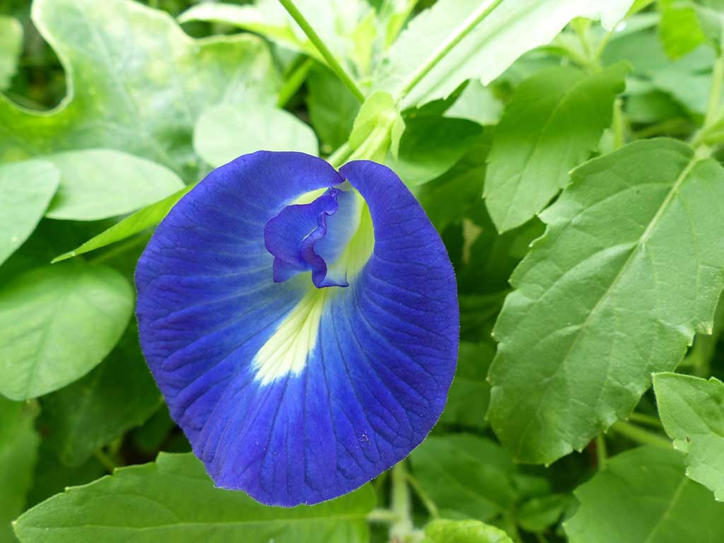 Butterfly pea can use to cleanse the wounds of the body 2