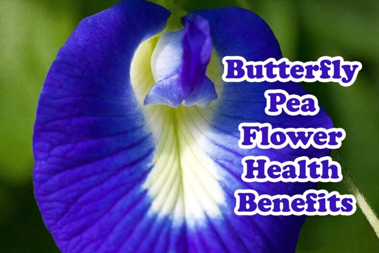 The butterfly pea is a valuable plant that has been used in medicine to treat many ailments. Even though society does not know it today, according to the ancient doctors, the butterfly pea is a great medicine that cures many diseases.