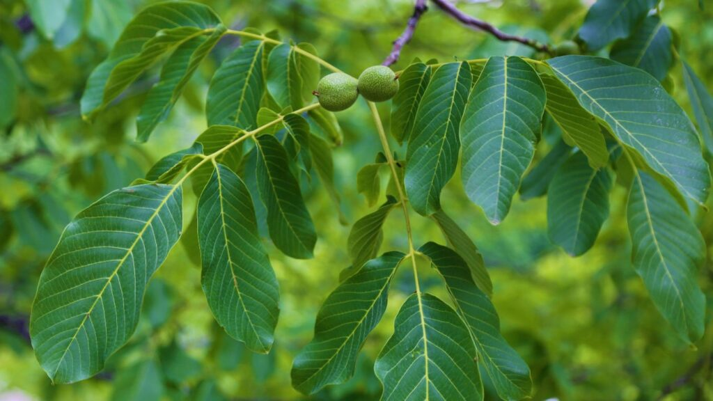 Walnut grows on walnut trees. Those usually grow in late August and early September each year. The growing fruit is covered with a layer of green skin.